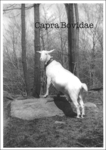 A black and white photograph of a goat standing on a rock.